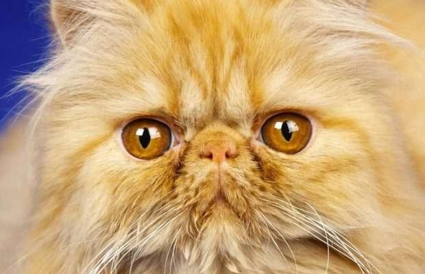 Персидський кіт